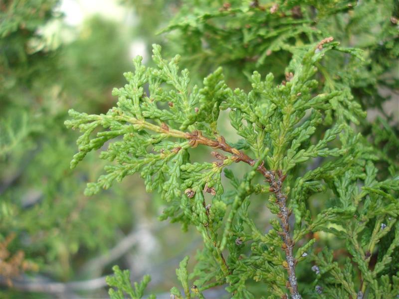 Uble naturaleza cipr s de la cordillera for Arbol comun