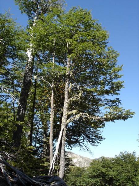 Uble naturaleza coihue for Poda de arboles zona sur