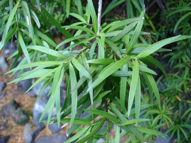 Uble naturaleza ma o de hojas largas for Arboles con sus nombres y caracteristicas