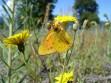 Mariposa Anaranjada Macho